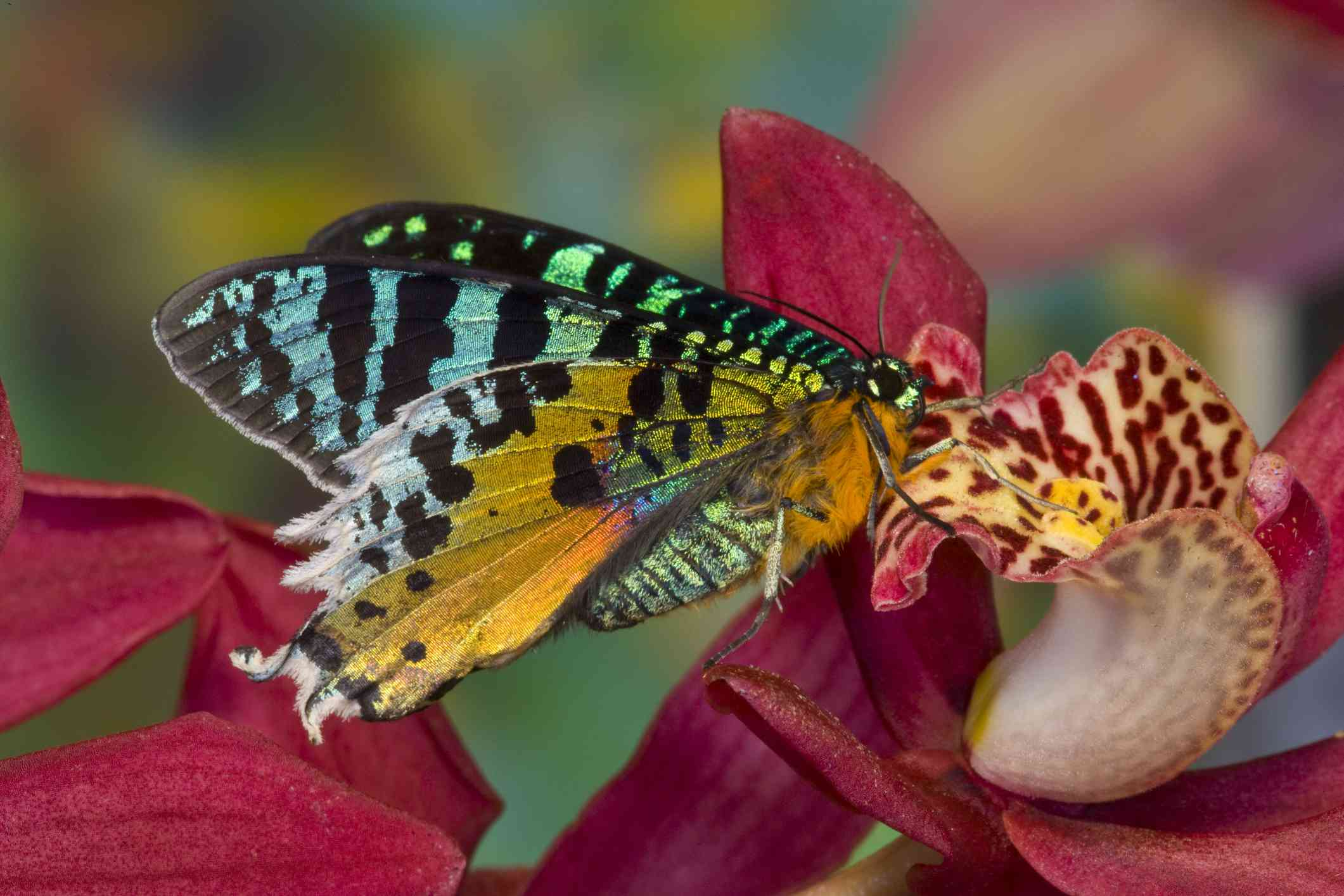 A colorful moth searches for nectar in a pink flower