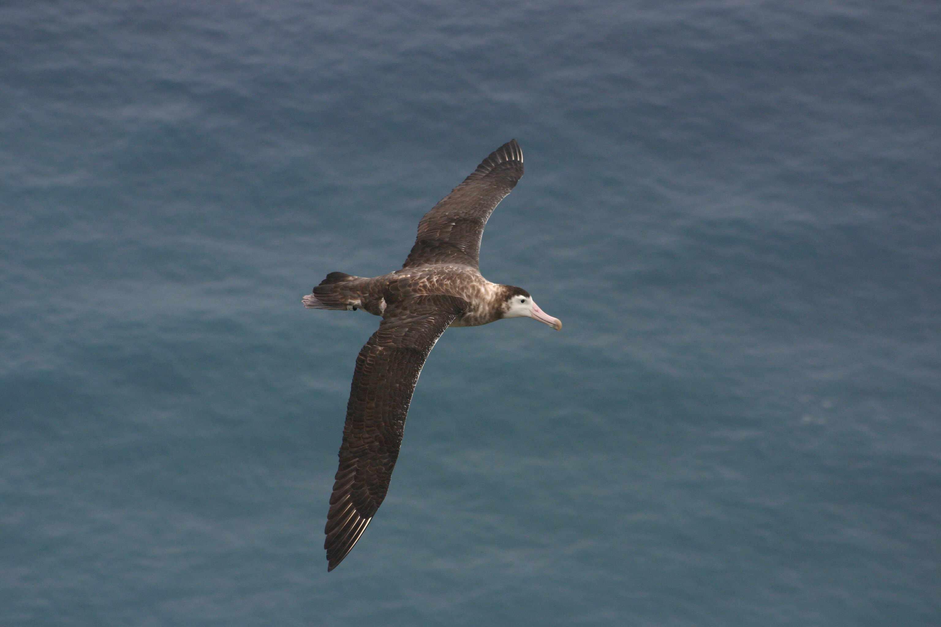 Amsterdam albatross flying over ocean