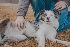 spotted doggie gets belly rub outsided on dry winter lawn