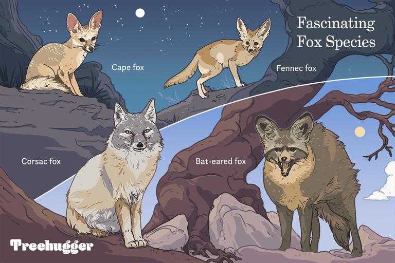 fascinating fox species illustration