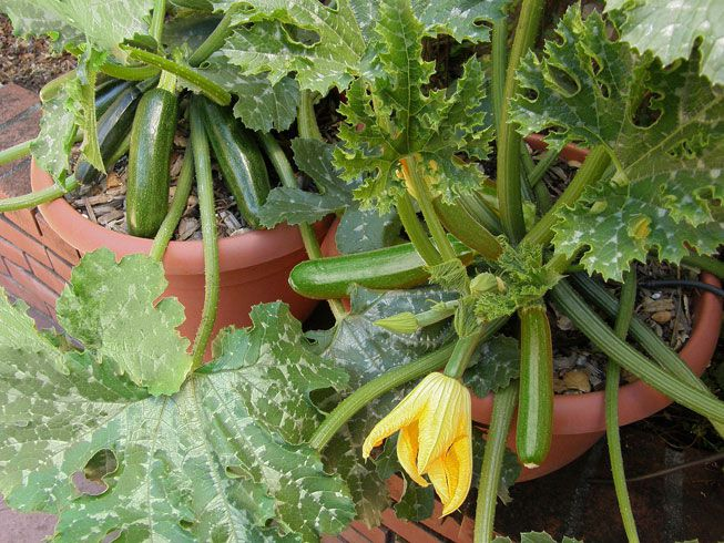 Zucchini grows in a container