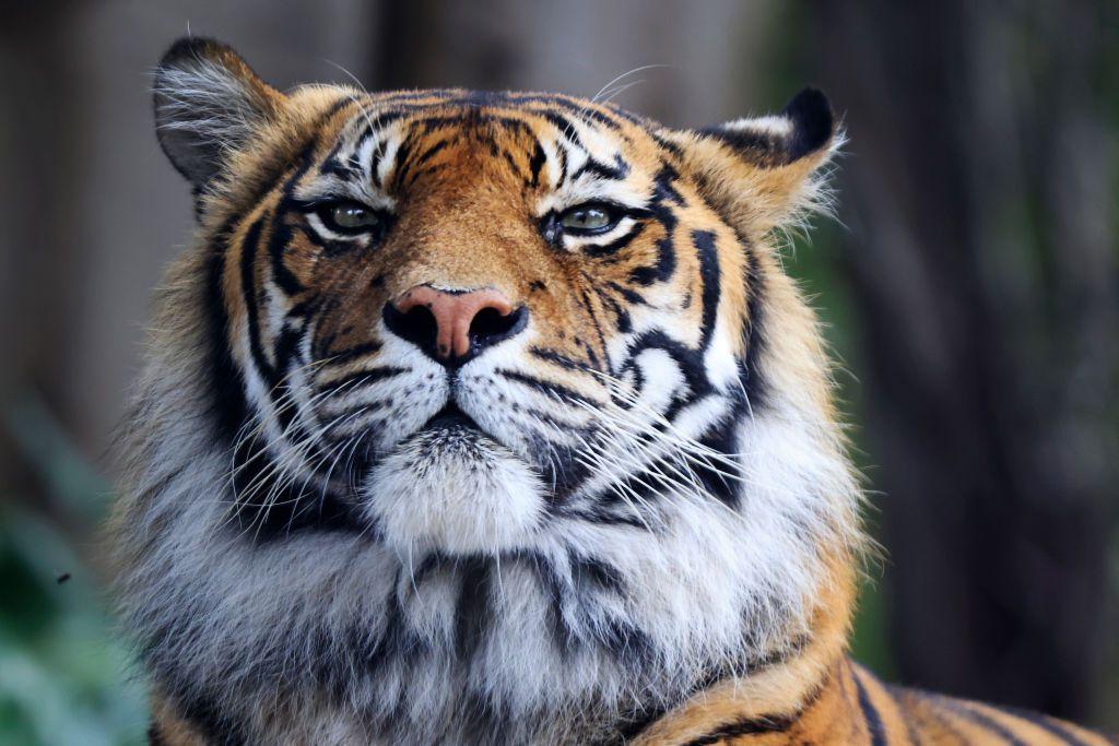 A tiger looks ahead.