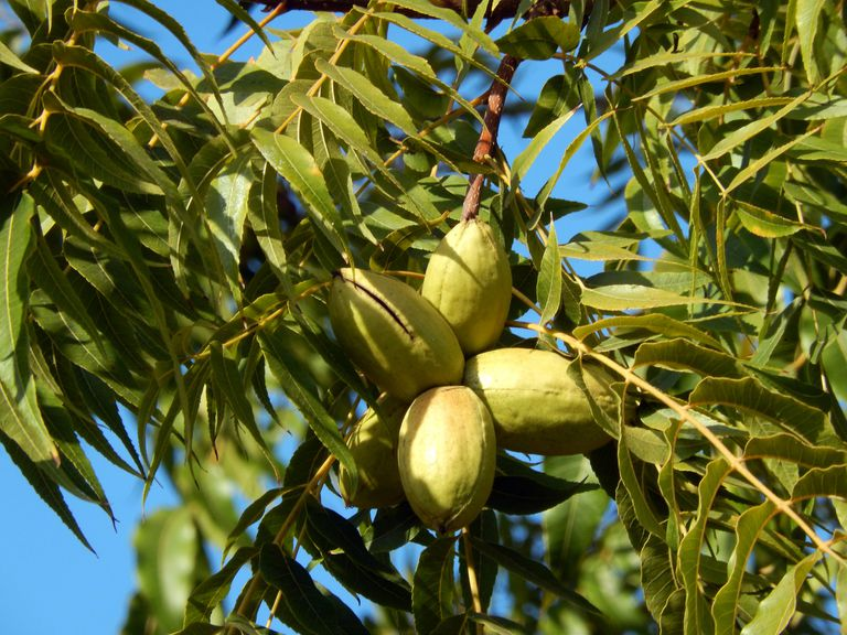 Pecan tree and pecan nuts