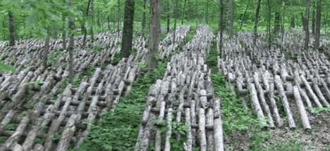 shiitake mushroom cultivation photo