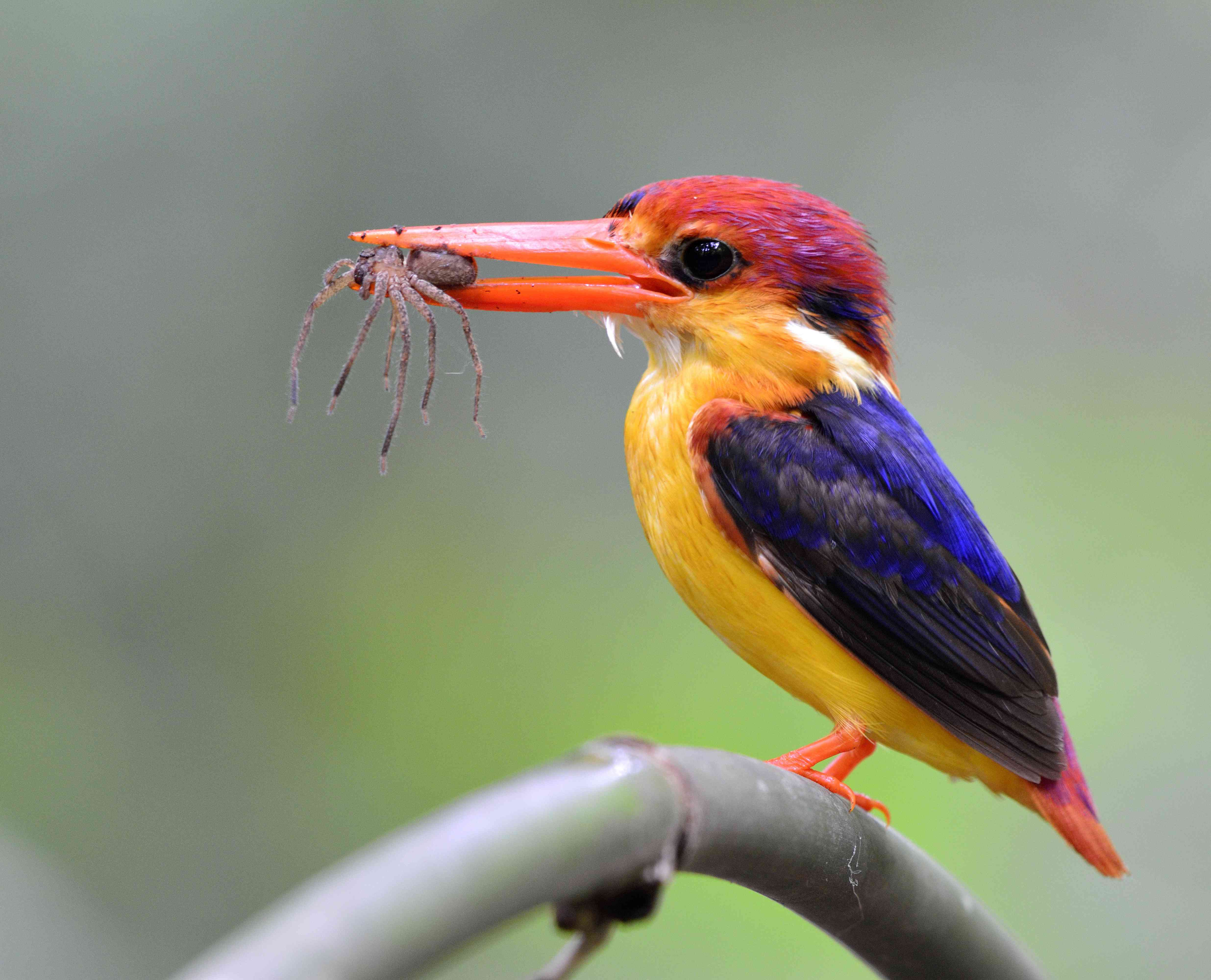 kingfisher holding a spider