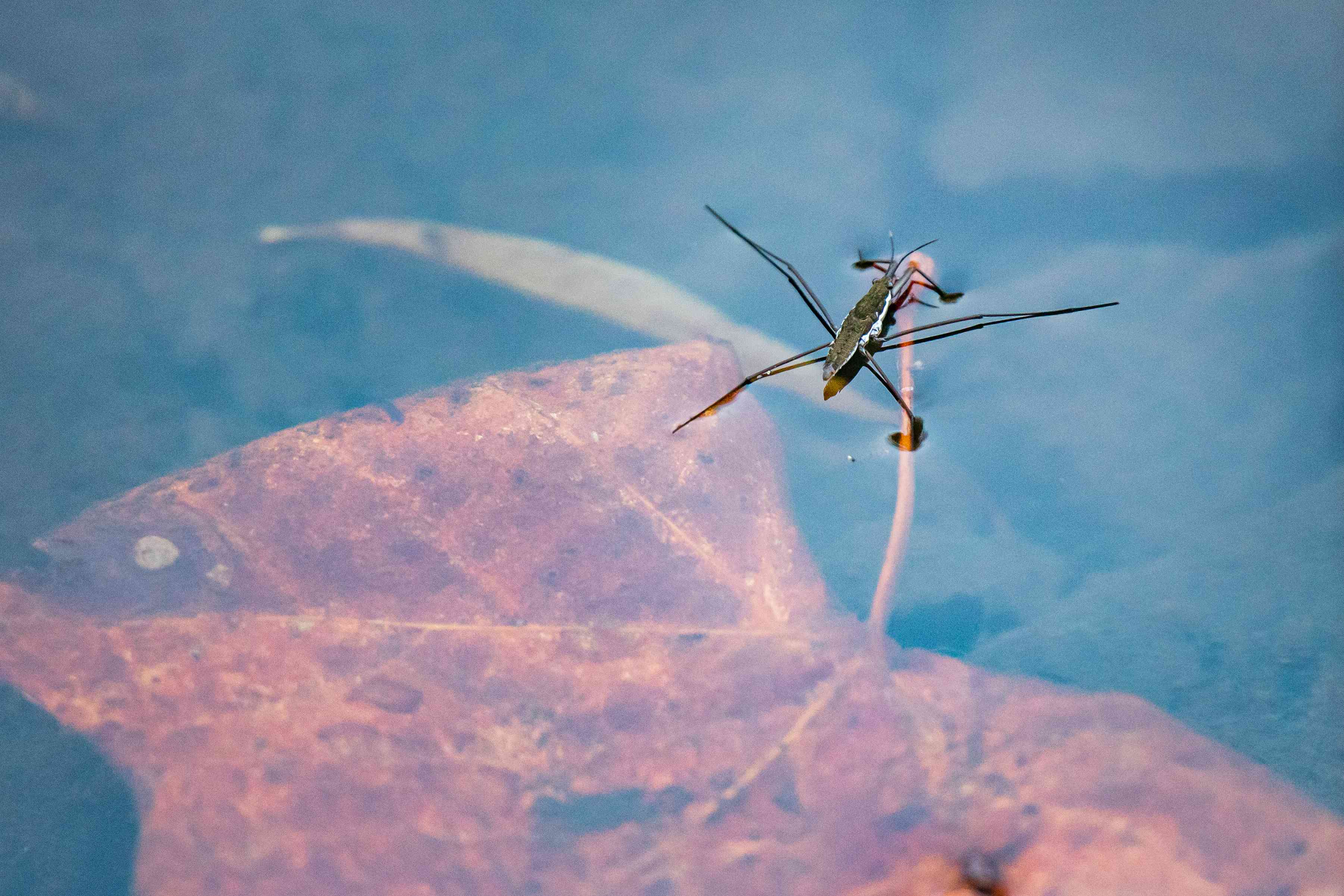 A water strider above a submerged leaf
