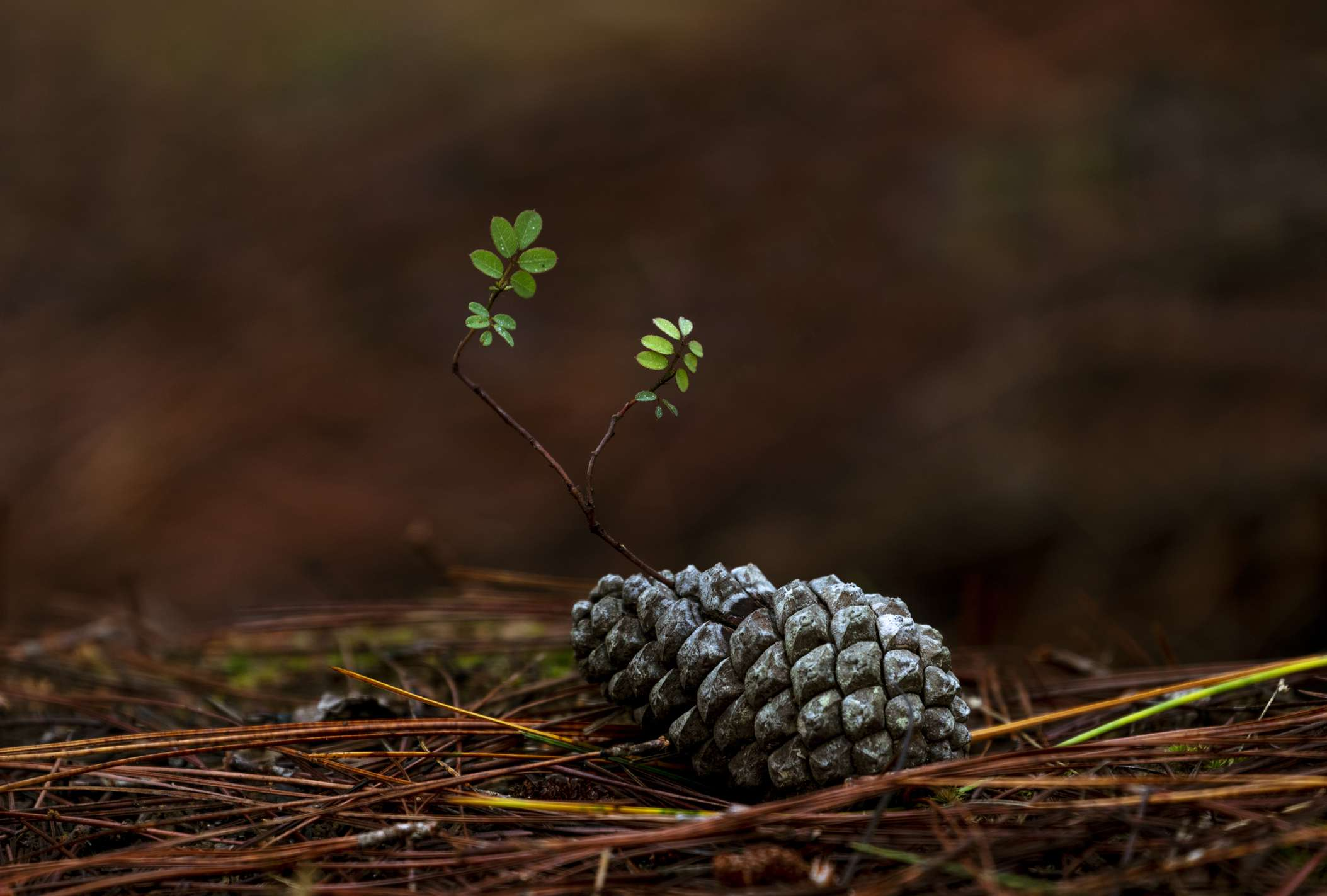 Pine cone growing a small tree out of its cone.