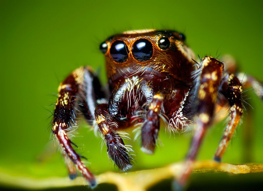 A jumping spider sits on a branch.