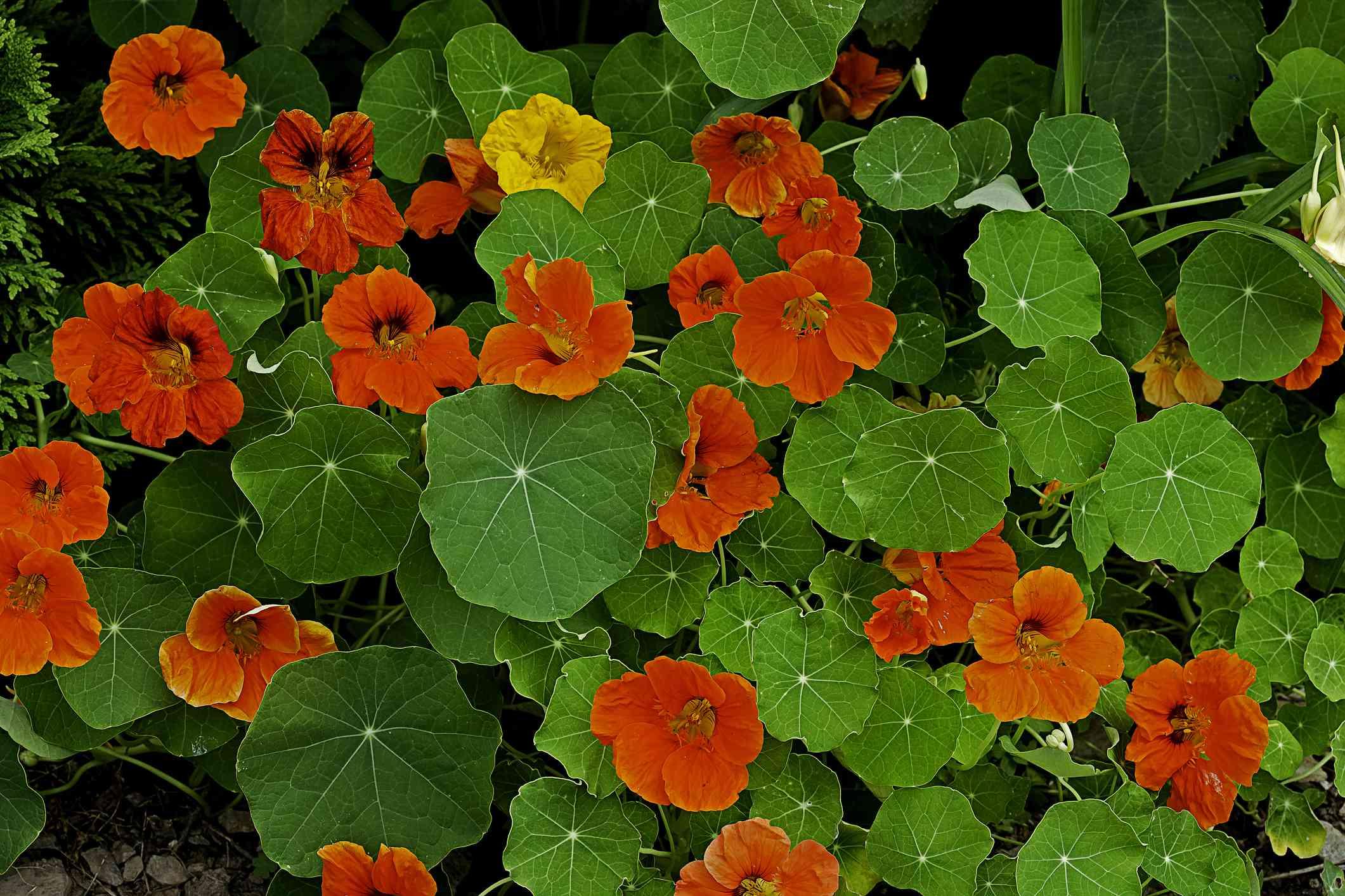 Tropaeolum (nasturtium)