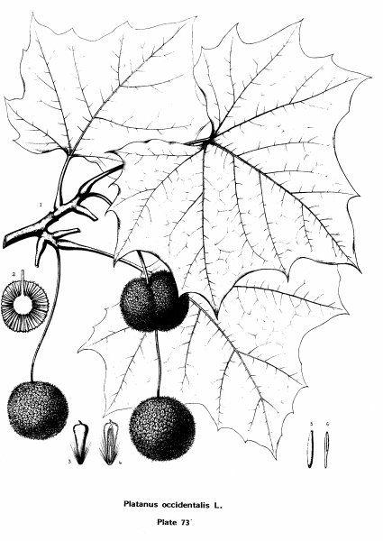 American Sycamore, Platanus occidentalis