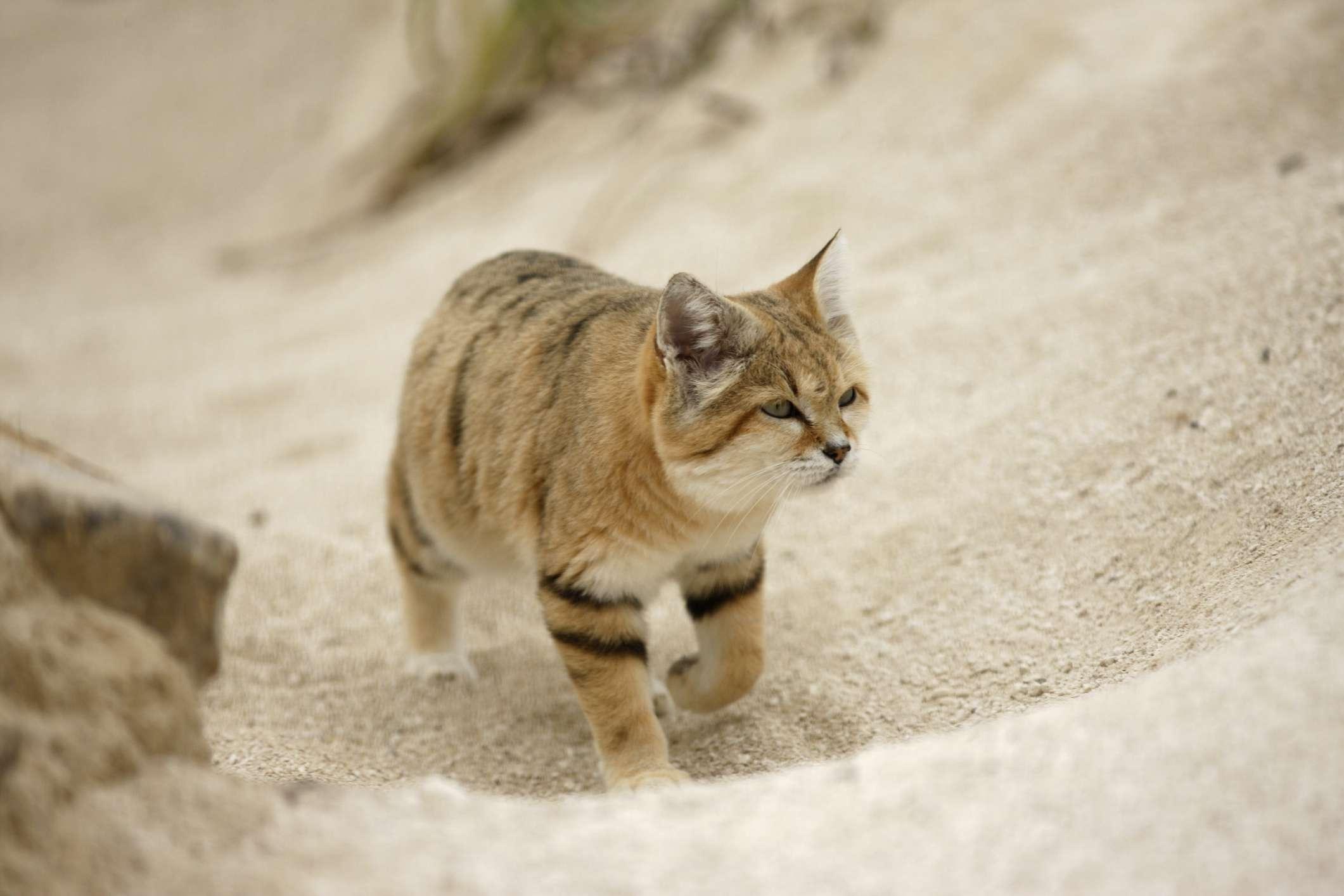 sand cat walks uphill through loose sand leaving no footprints