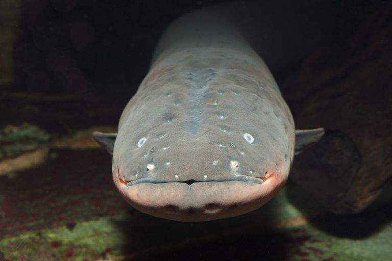The face and head of a gray colored electric eel with a pink mouth