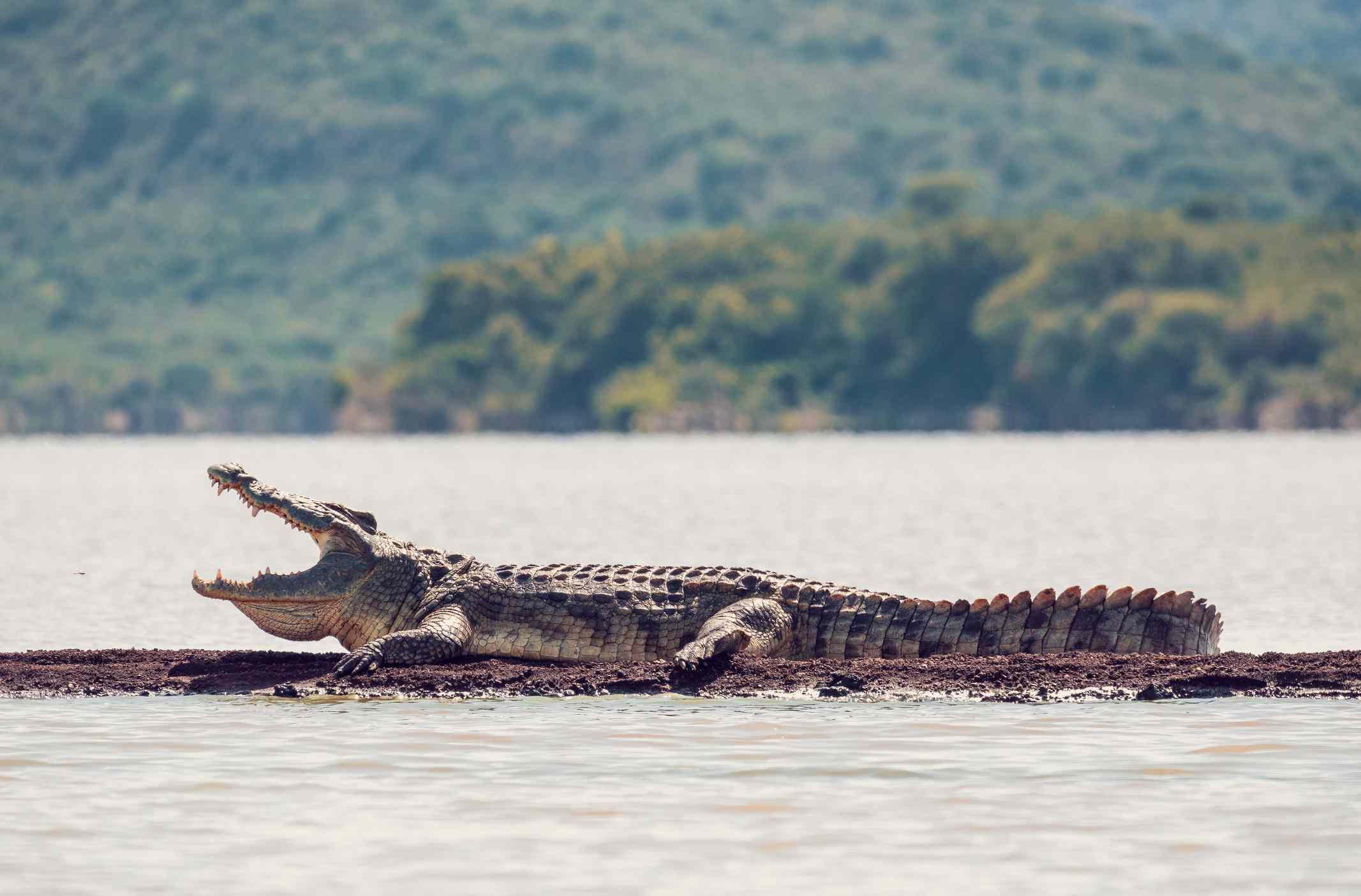 Huge alligator on a log in a river