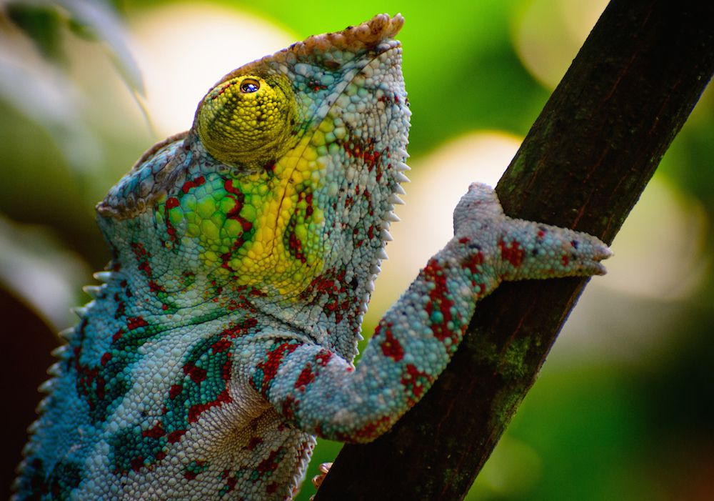 rainbow-colored speckled chameleon on branch
