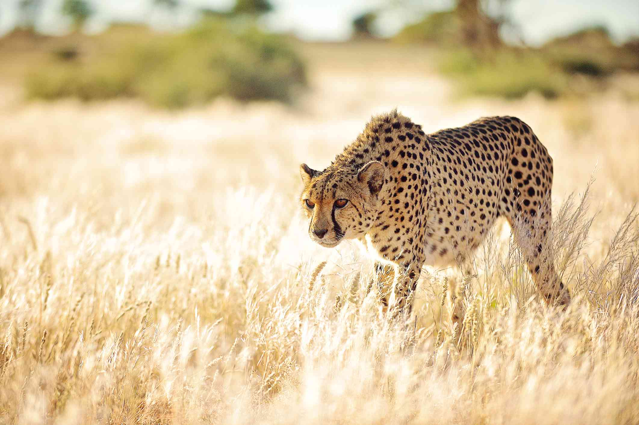 cheetah stalking