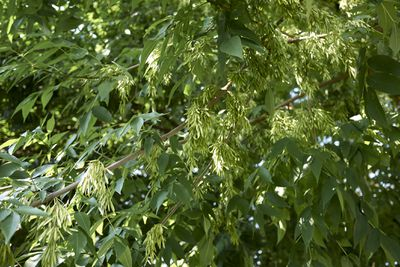 Seeds and green leaves hanging from a Green Ash tree.