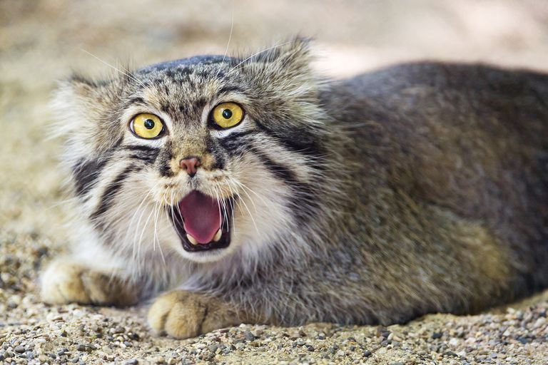 ¿Por qué es tan expresiva la cara del gato de Pallas?