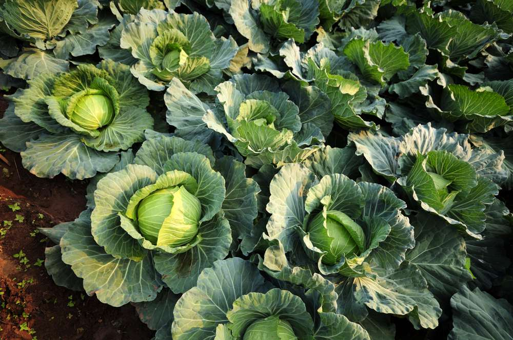 three rows of cabbage plants