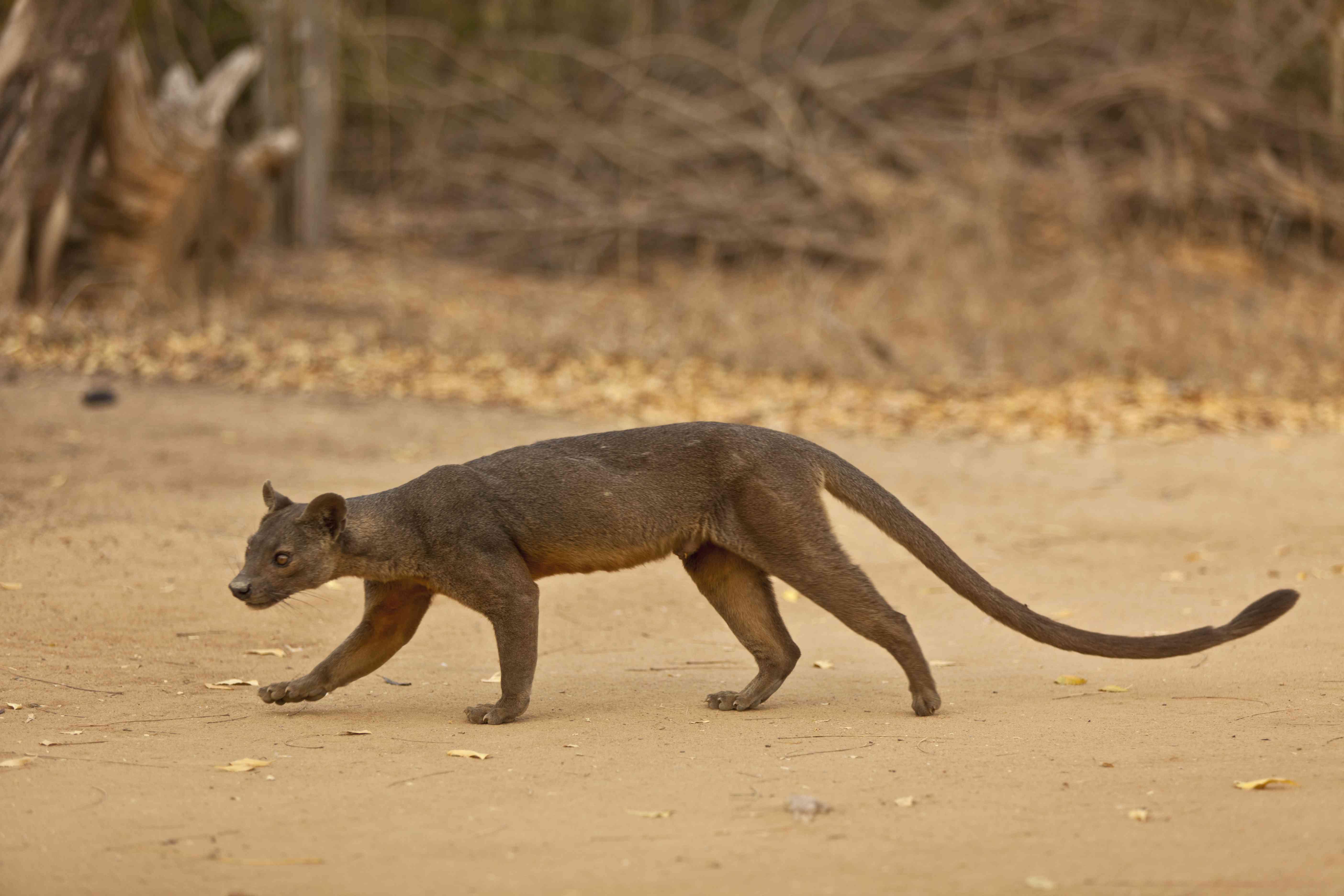 A fossa walks across a dirt clearing.