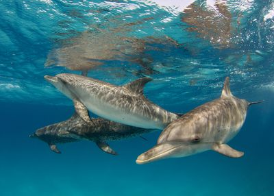 four dolphins swim in a group underwater