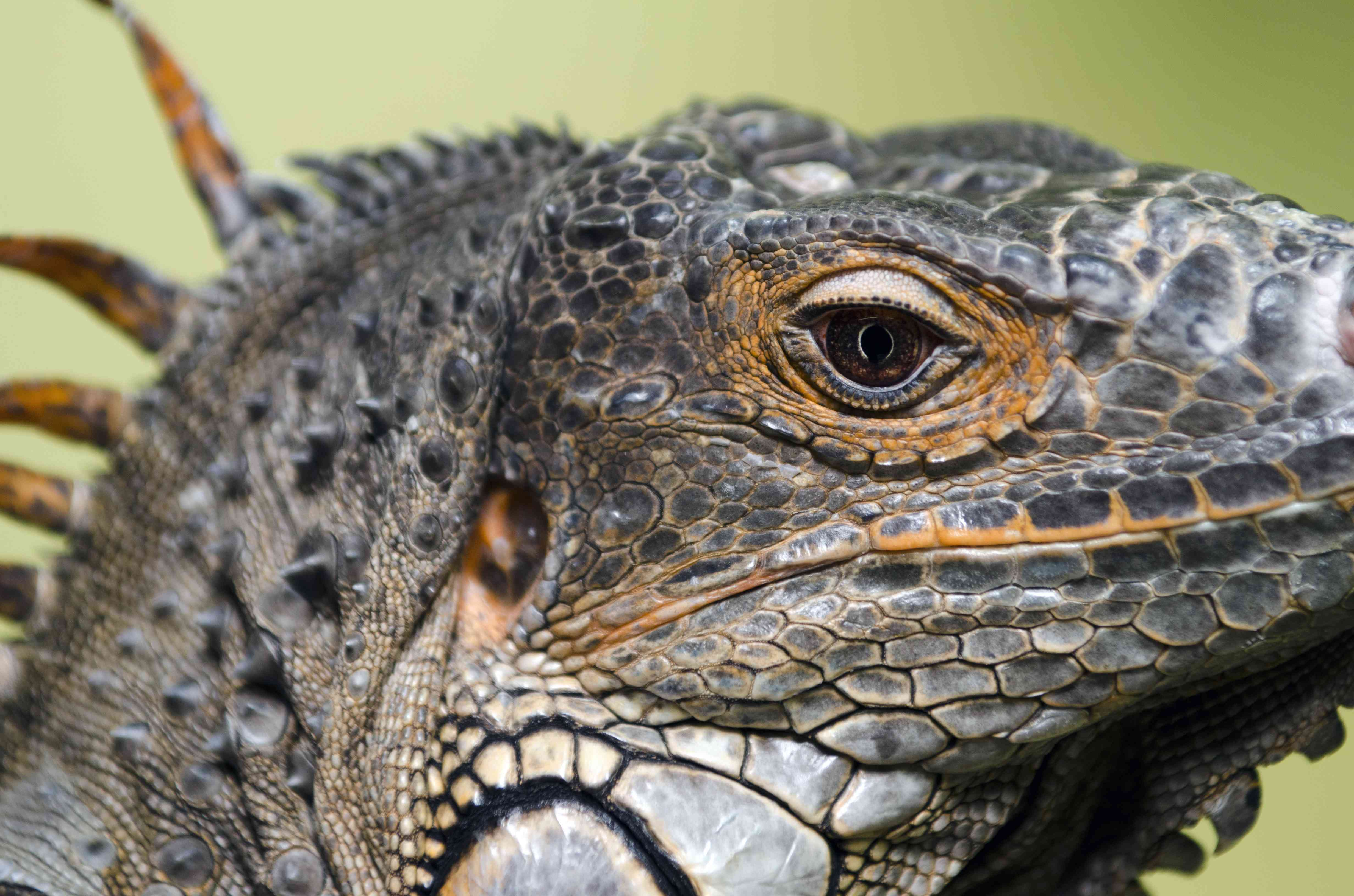 Close-up of an iguana's profile showing one eye and the third eye on top of its head
