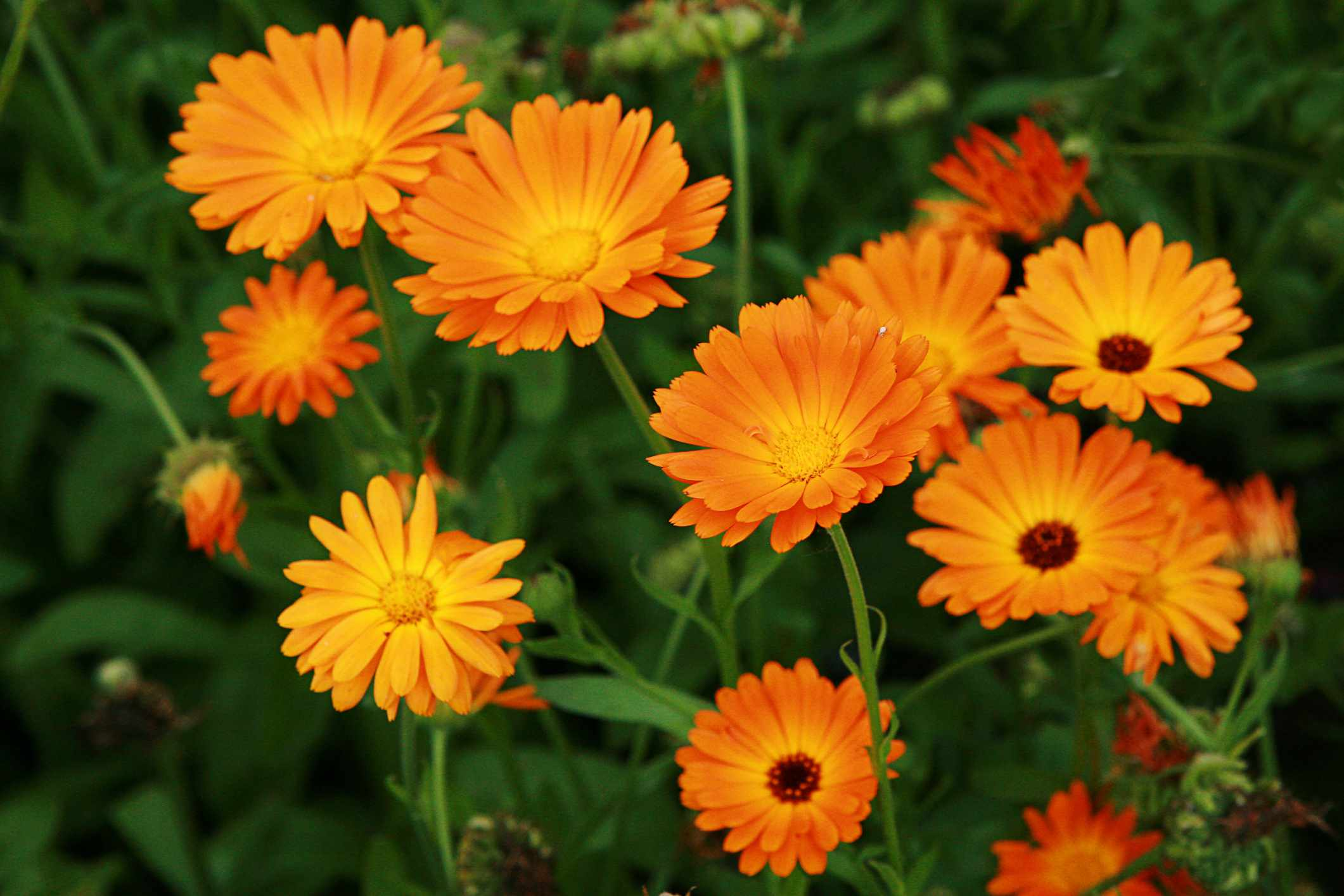 Close-up of orange and yellow calendulas in a garden
