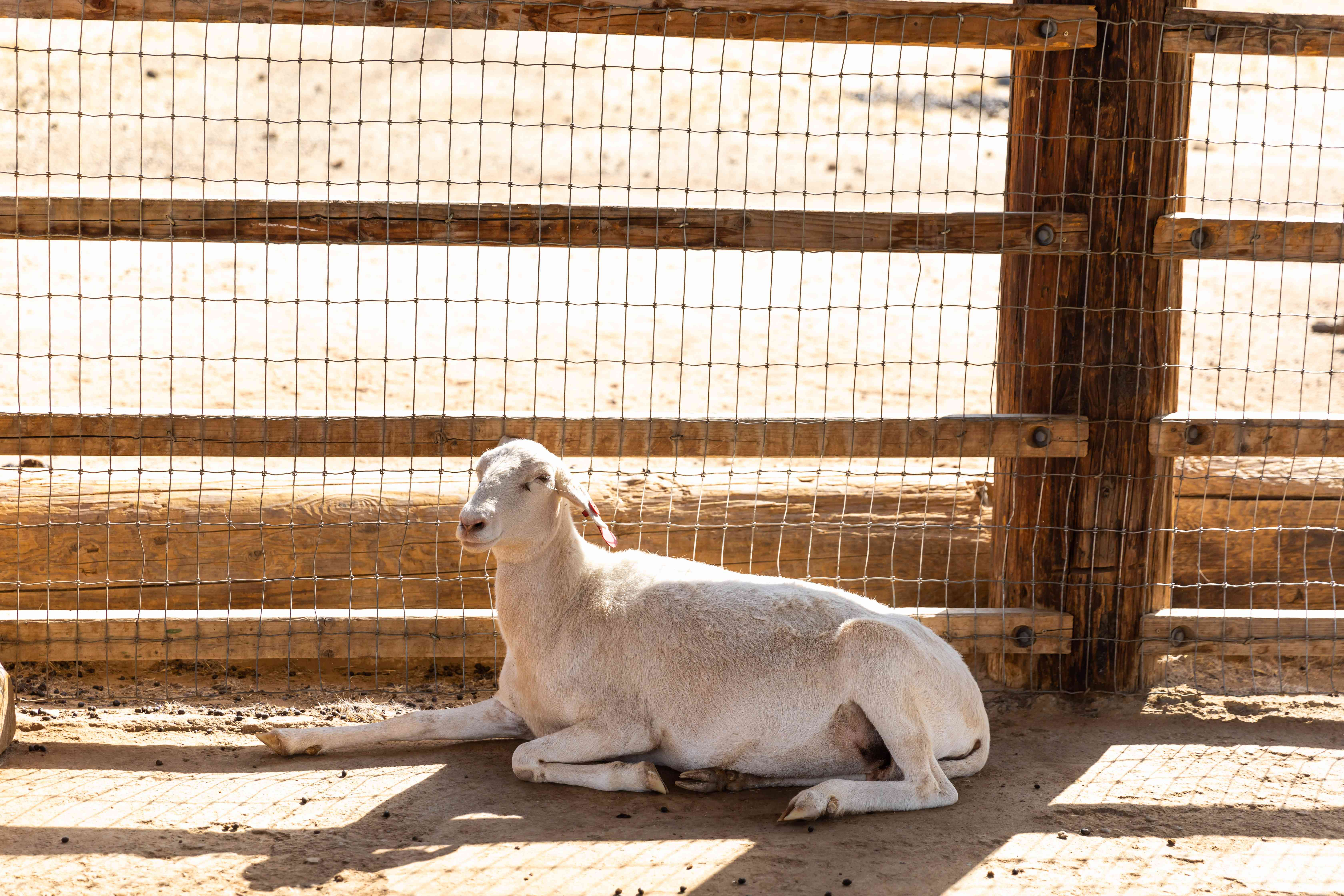 Adult goat rests on ground near wire fence