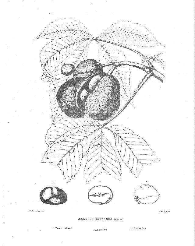 Yellow Buckeye, Aesculus octandra