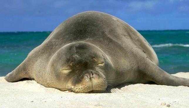 Las focas monje hawaianas en peligro de extinción se están recuperando