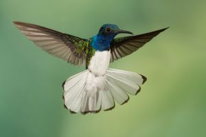 Hummingbird in flight extending his white tail
