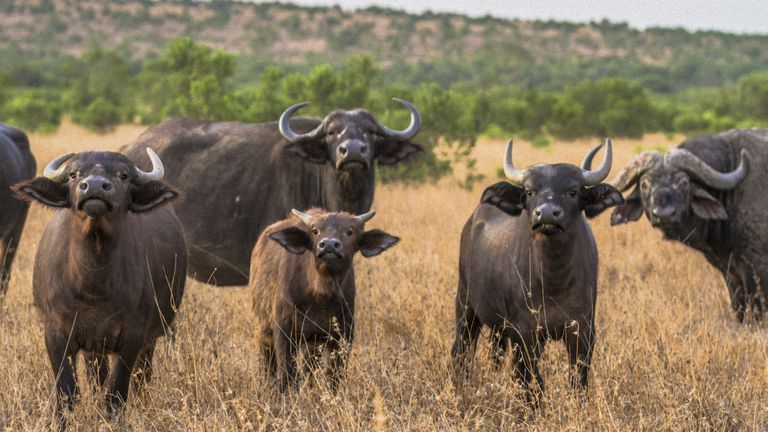African Buffalo in Laikipia savanna, Kenya