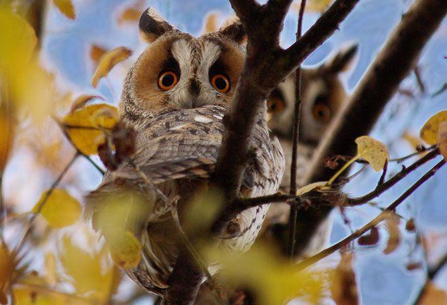 Long-eared owls in a tree