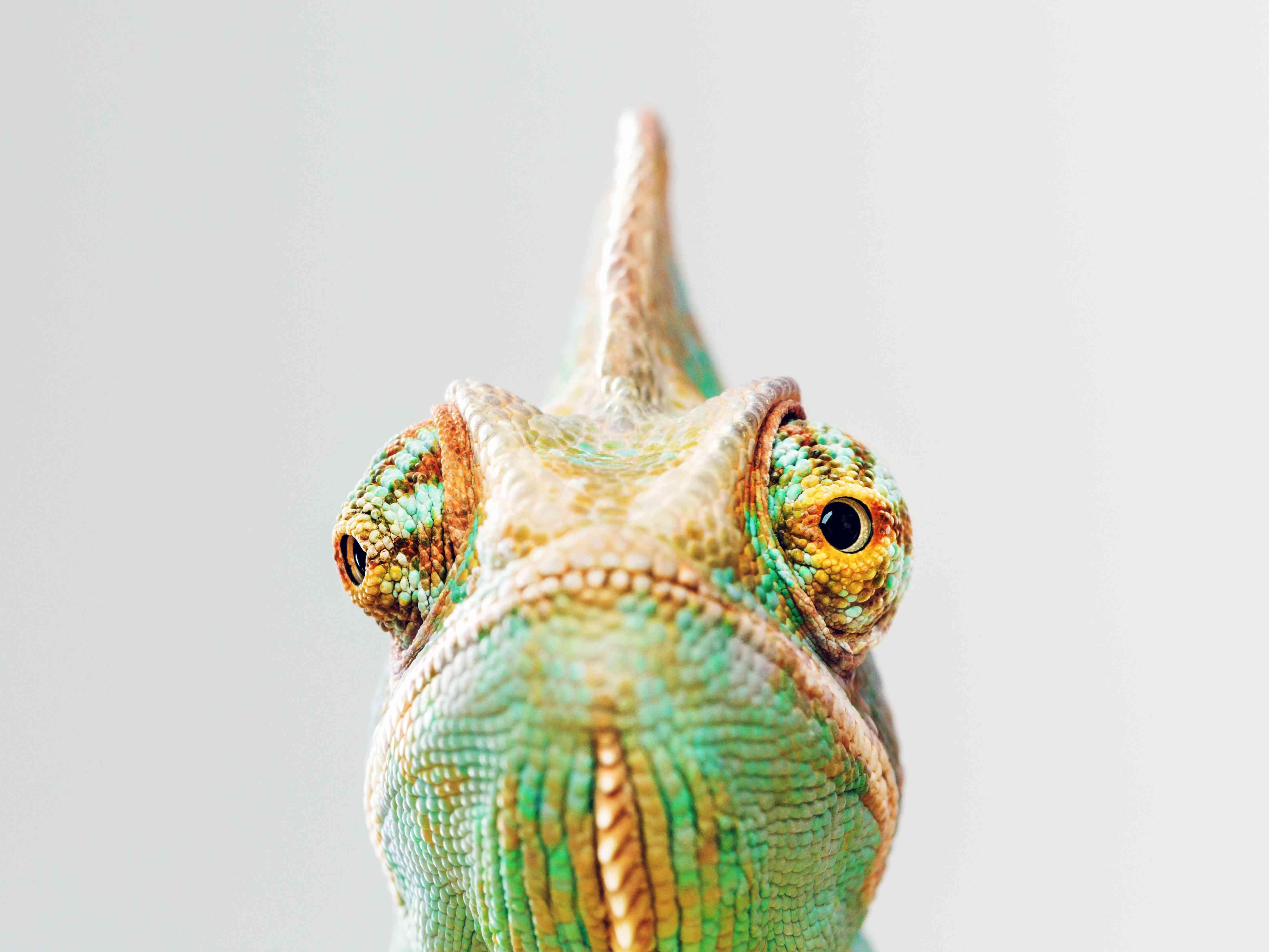 Green chameleon portrait