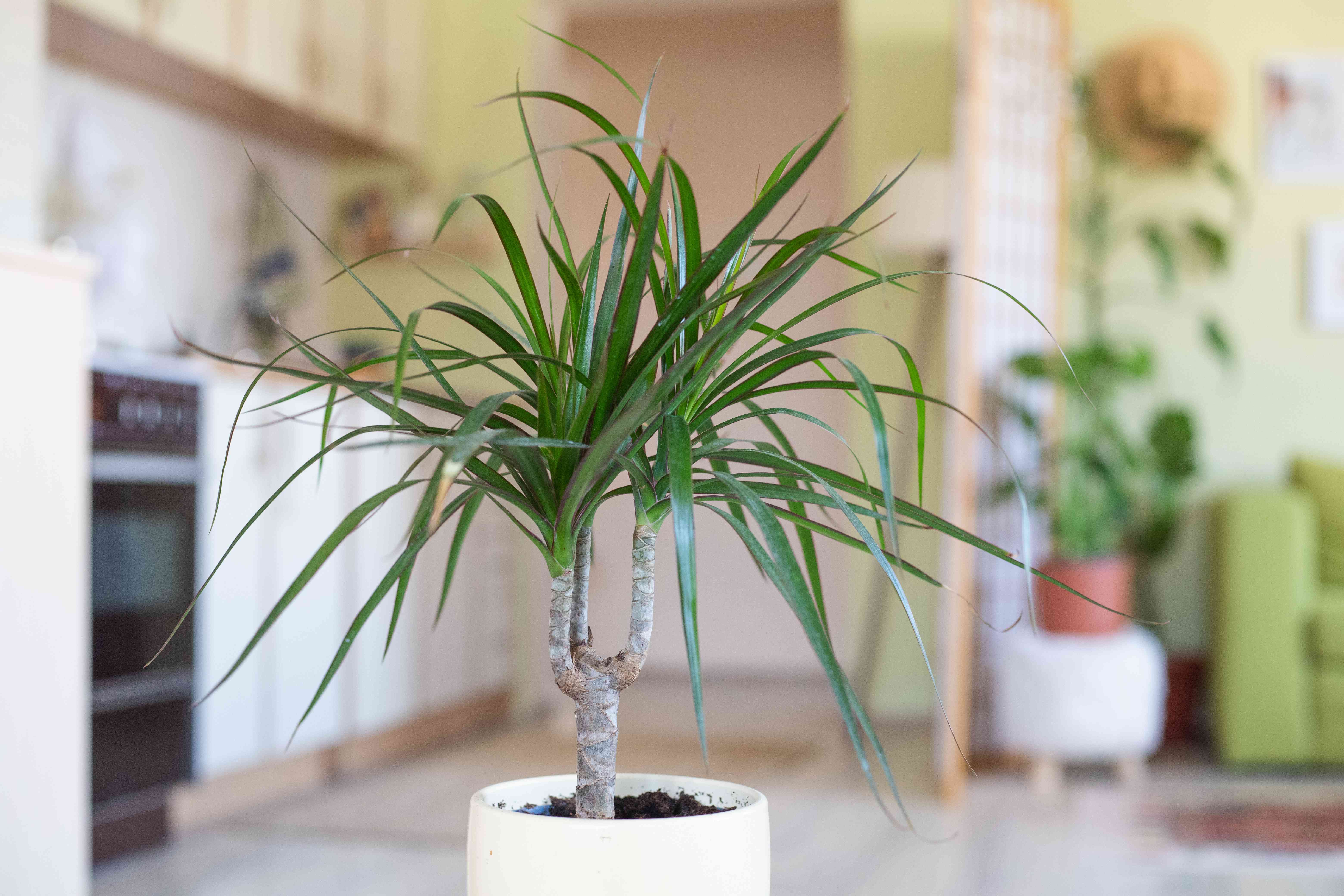 Dracaena house plant in white pot with studio apartment kitchen in background
