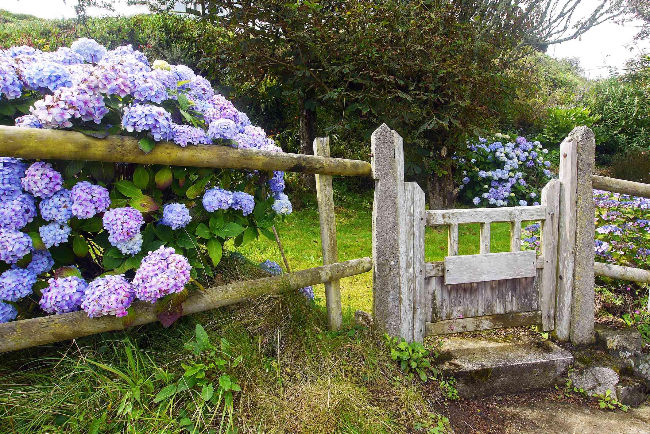 Blue hydrangea bush along a fence