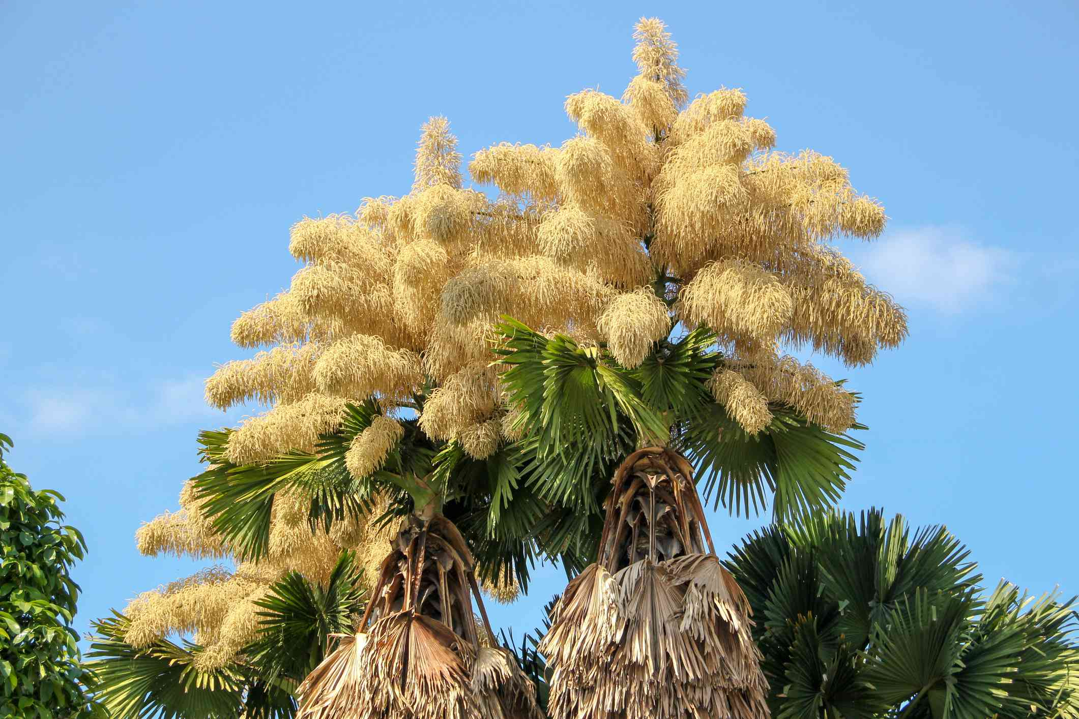 Flowering tops of two tree-sized palm talipots