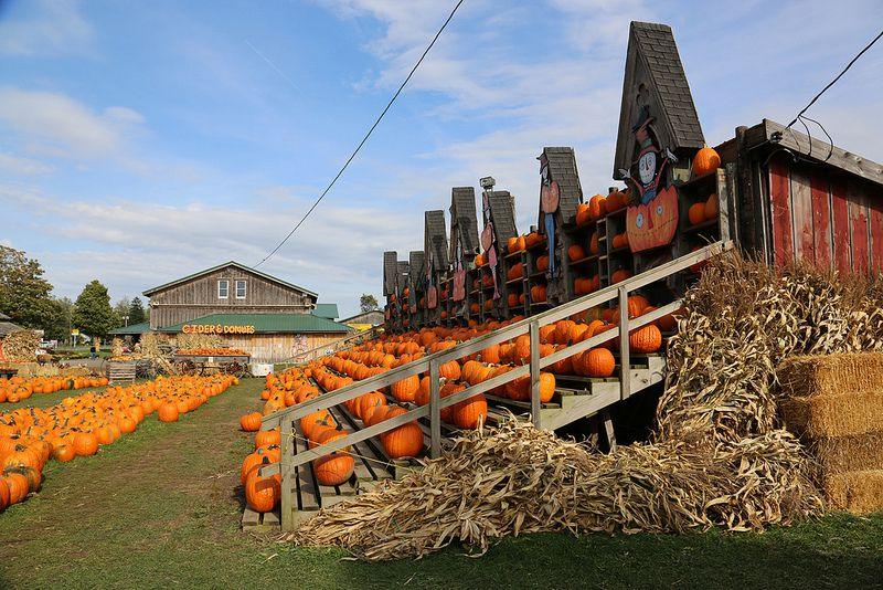 Hundreds of pumpkins stacked on risers
