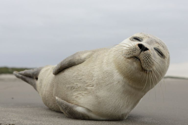 Seal laying on the sand