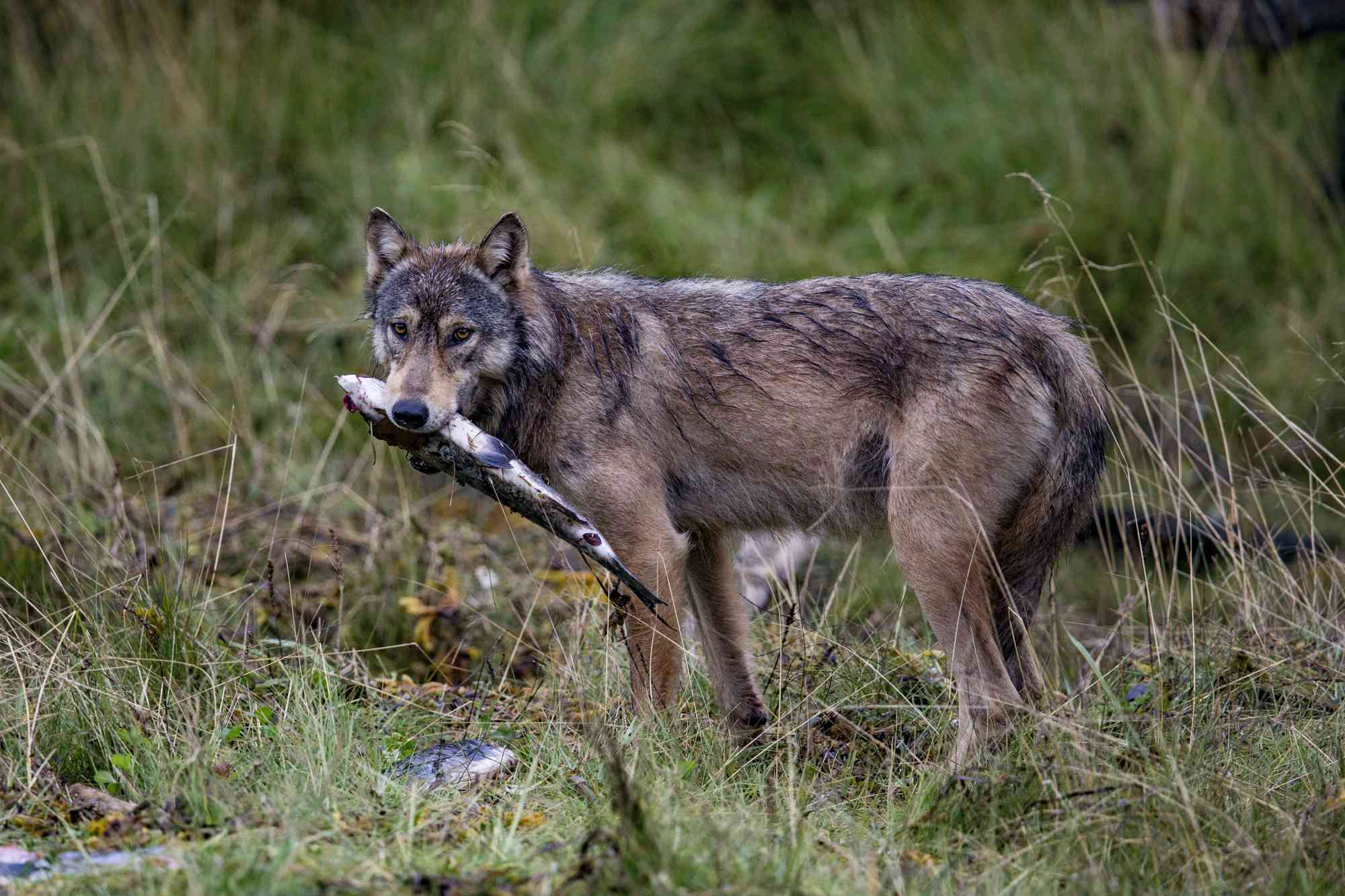 These wolves are specialists in the meals that are available along a coastline.