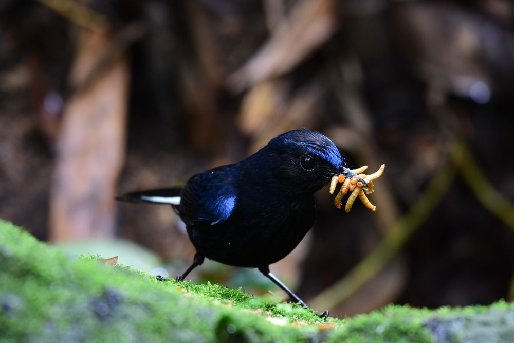 White-tailed blue robin with worms in its beak