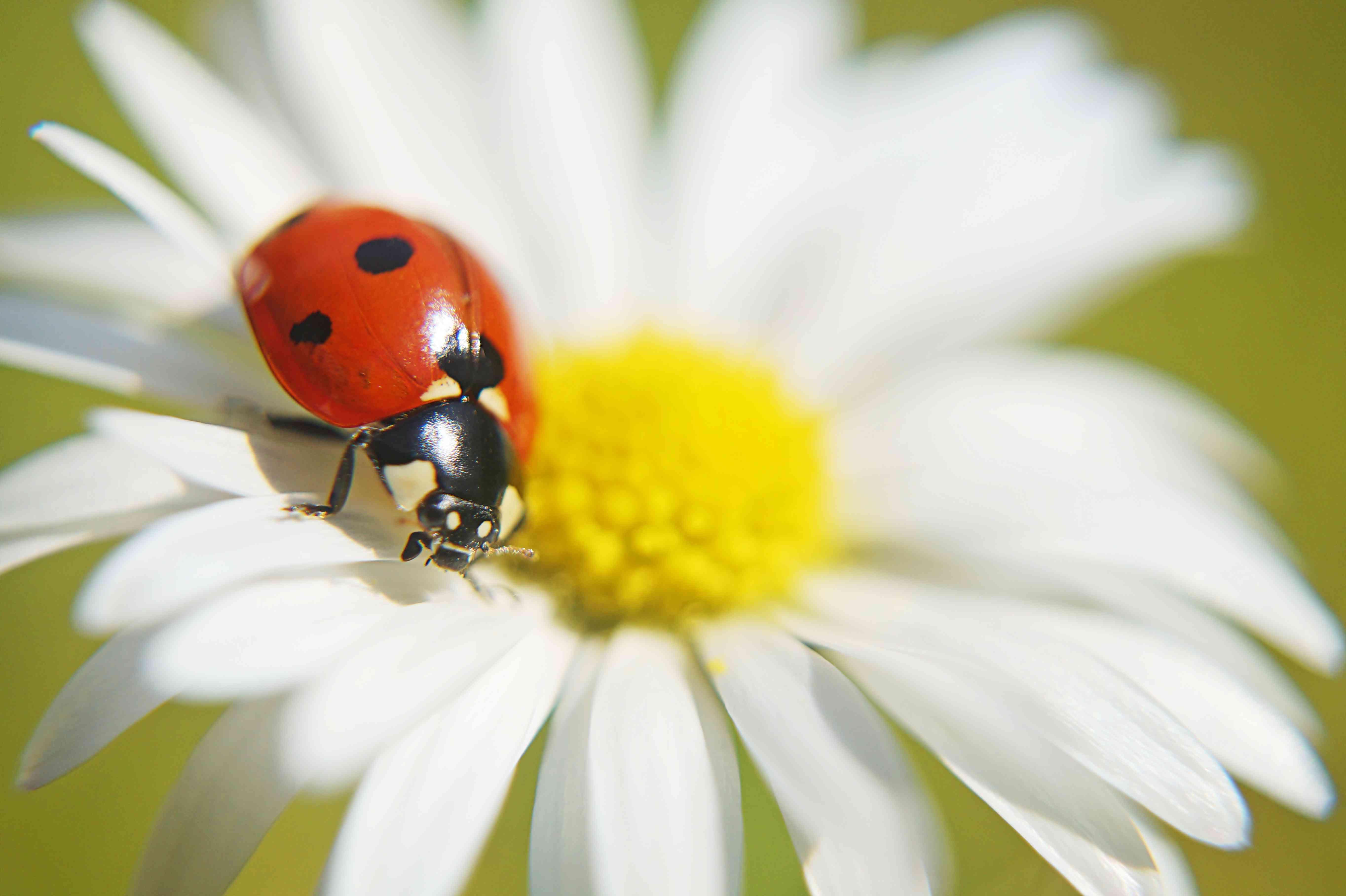 Close-up of a ladybug walking on a daisy