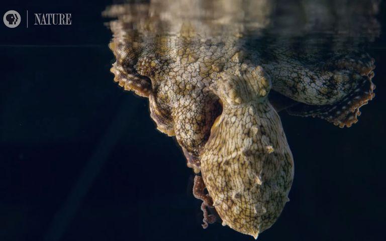 El camuflaje cambiante de Sleeping Octopus narra su sueño (Video)