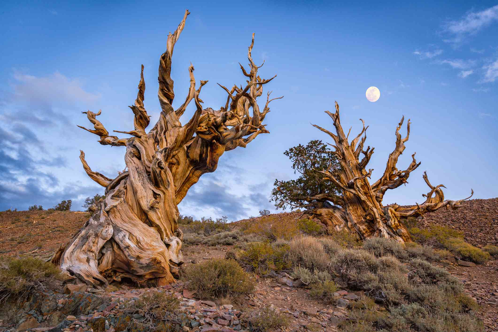 Moon rising over twisting Bristlecone Pine Trees at dusk