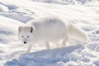 bright white arctic fox walks through white snow in the sun