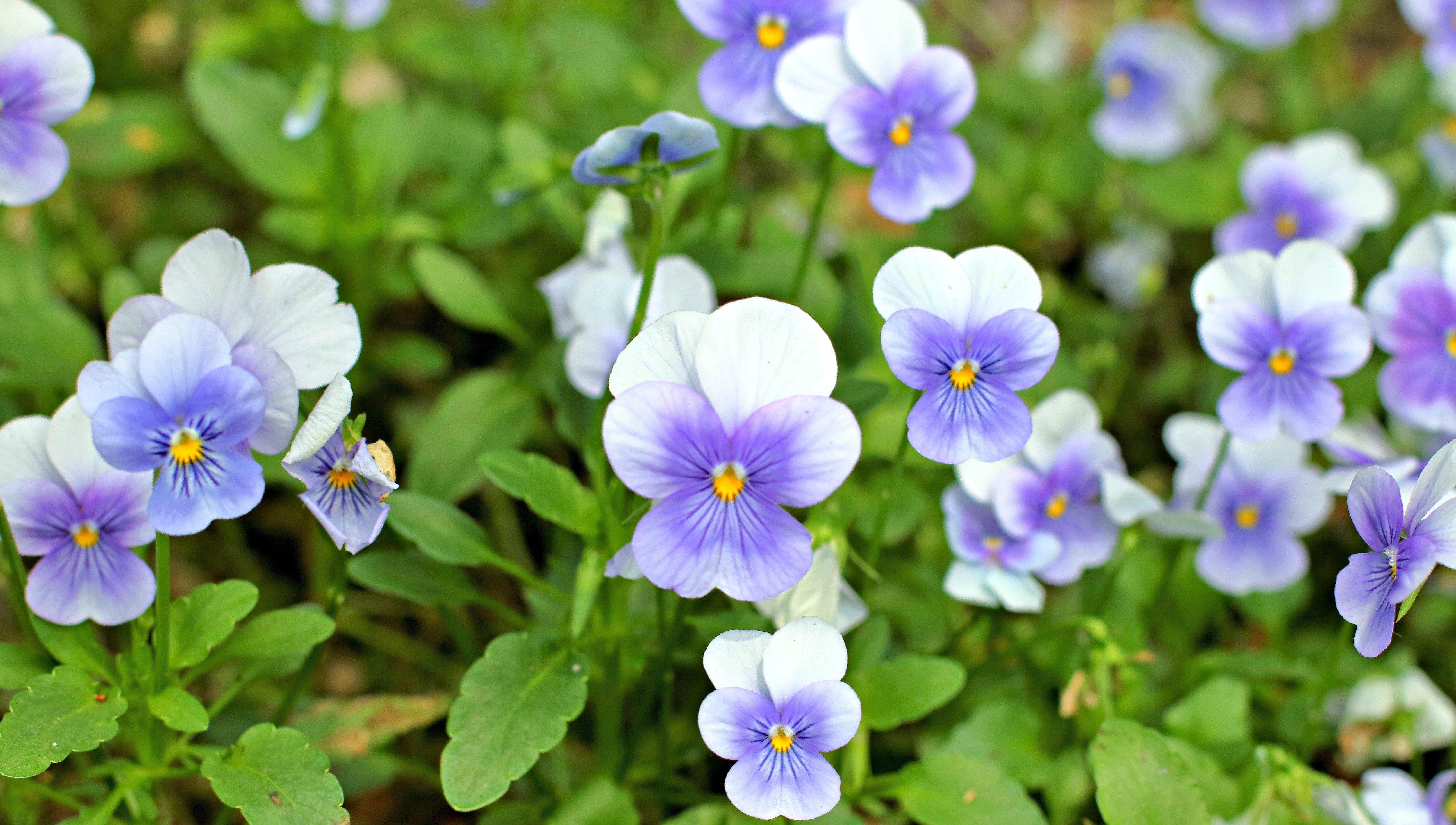 Light Blue Pansy Flowers