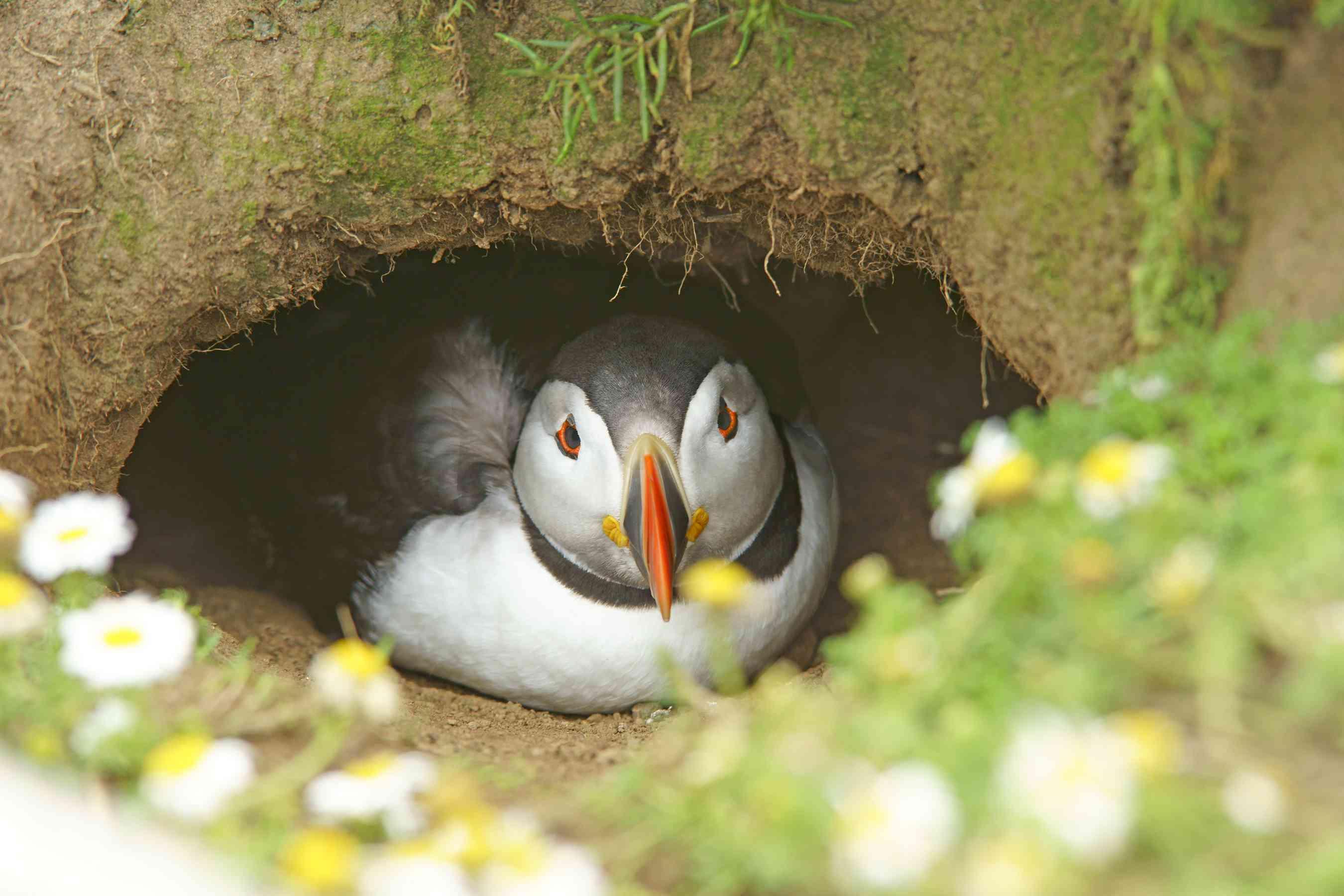 Atlantic Puffin in nesting burrow, Skomer Island Wales UK