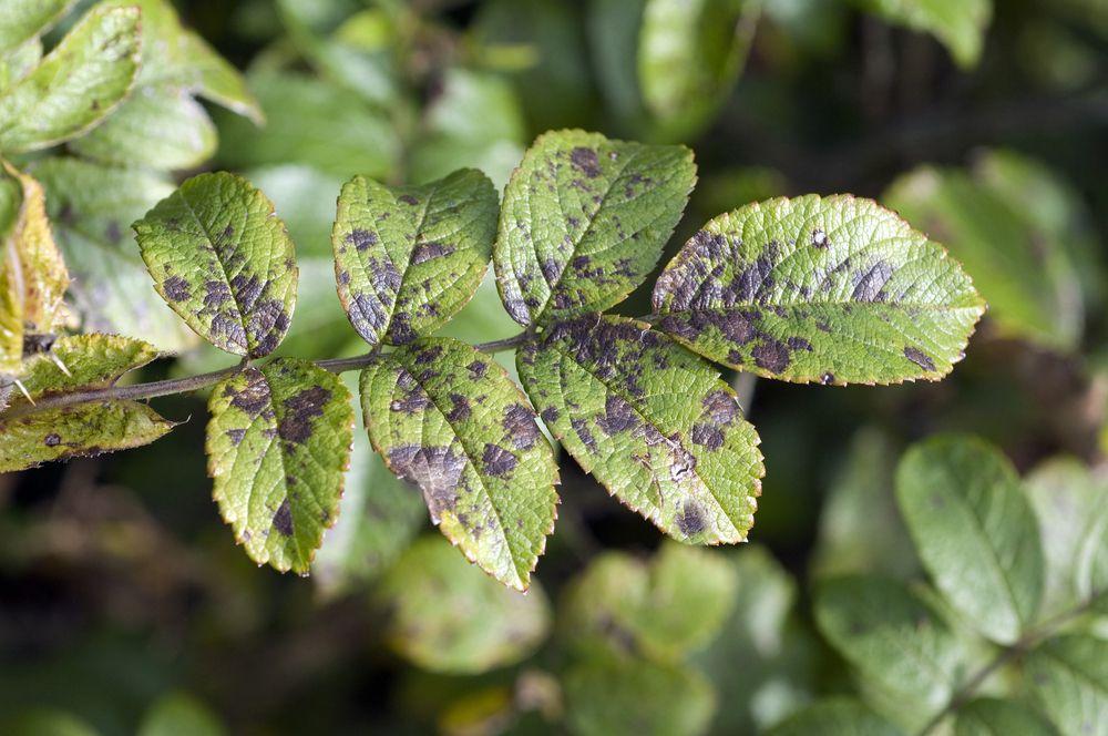 black spots on leaf