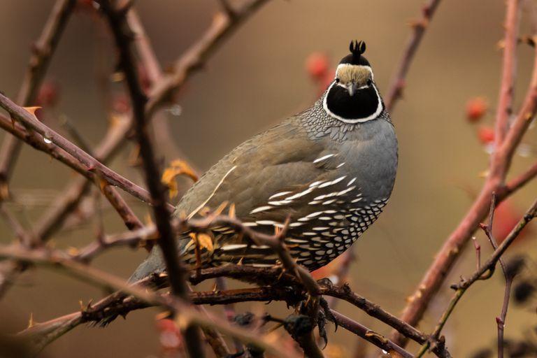 California quail sitting on branches