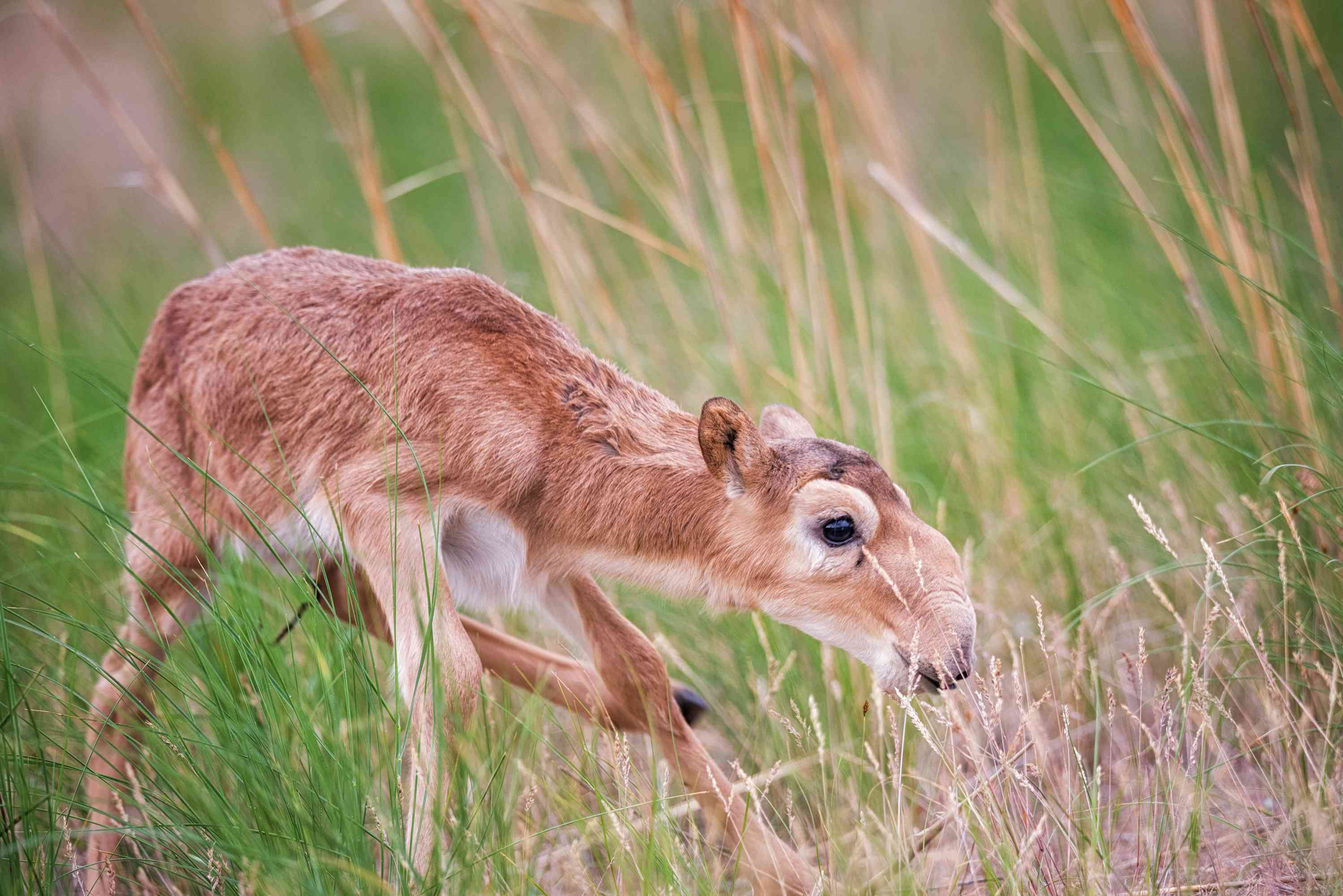 A young saiga kid in Russia