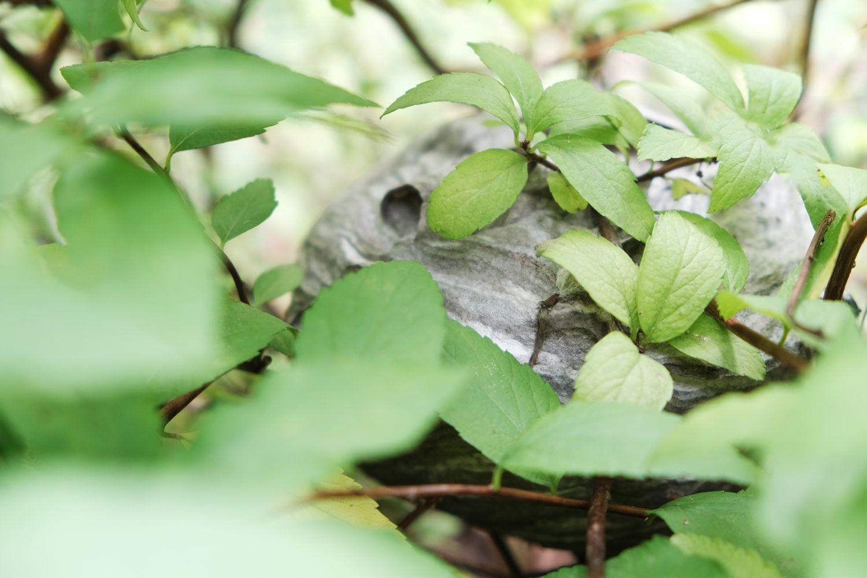 gray hornet and wasps nest hidden in bush outside
